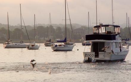 Bluefish chasing menhaden, Bristol (RI) bay