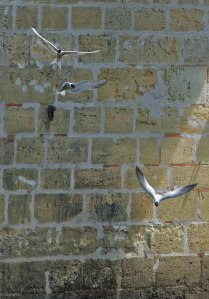 Terns in France 2
